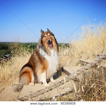 a collie posing for the camera up above a city during a hot summer day