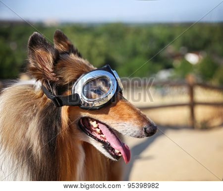 a collie posing for the camera up above a city during a hot summer day with goggles on