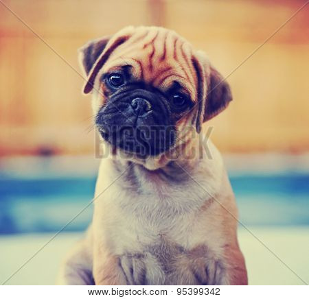a cute chihuahua pug mix puppy (chug) looking at the camera with a head tilt in front of a fenced in pool in a backyard during summer toned with a retro vintage instagram filter app or action effect