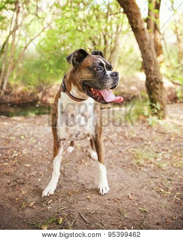 Adult Boxer Portrait In A Natural Outdoor Setting with her tongue hanging out - shallow dof