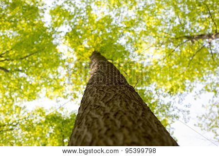 View from below of a maple tree trunk with branches spreading out