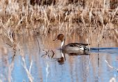 stock photo of pintail  - A pintail in shallow water in New Mexico - JPG