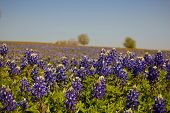 picture of bluebonnets  - A field of Texas bluebonnets from Brenham - JPG