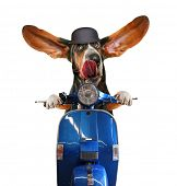 stock photo of basset hound  - a basset hound riding on a scooter with his ears flapping and his tongue licking his nose isolated on a white background - JPG