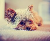 image of yorkshire terrier  -  a cute yorkshire terrier peeking around while napping on a sofa toned with a retro vintage instagram filter app or action effect - JPG