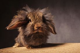 stock photo of lions-head  - fluffy little lion head bunny rabbit standing on a wooden box against grey studio background - JPG