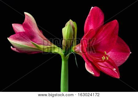 Close-up of pink amaryllis flower. Zen in the art of flowers. Macro photography of nature.