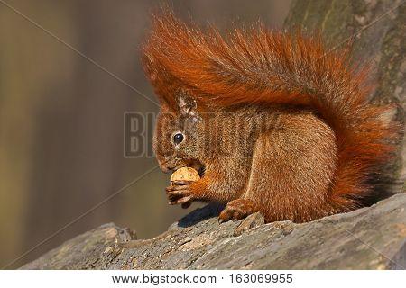 Red squirrel (Sciurus vulgaris), eating walnuts on a tree trunk