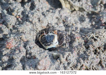 Fiddler Crab walking in the mangrove mud
