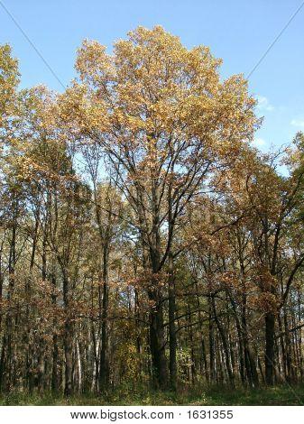 Autumn Oak Grove