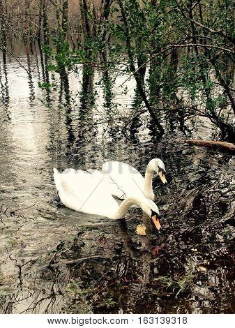 Swans in Killarney National Park, County Kerry, Ireland