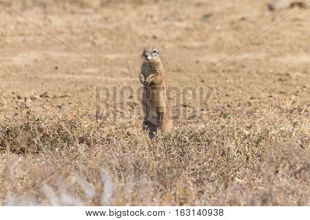 Cape ground squirrel standing. Mountain zebra national park South Africa. Safari and wildlife