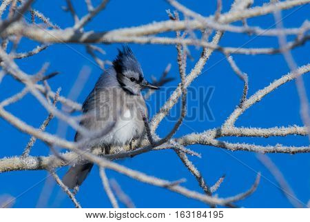 Juvenile Blue Jay on a Very Cold Winter Morning