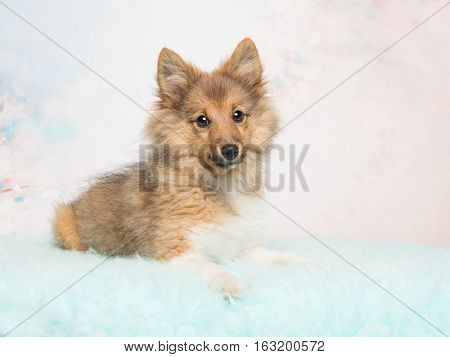 Cute shetland sheepdog puppy lying down facing the camera on a soft pink and blue pastel colored background
