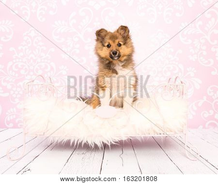 Cute shetland sheepdog collie puppy sitting in a pink bed on a pink wallpaper and wooden floor