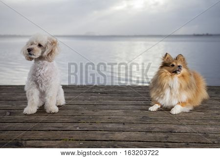 white poodle mongrel and a shetland sheepdog lies on wood planks