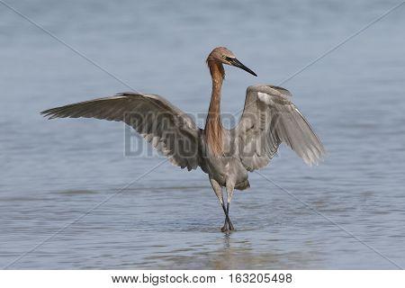 Reddish Egret Foraging In A Florida Tidal Pool