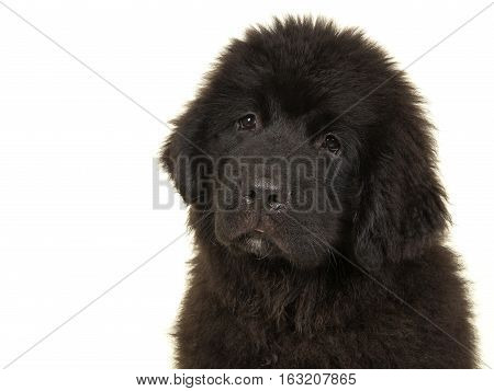 New foundlander young dog portrait isoalted on a white background