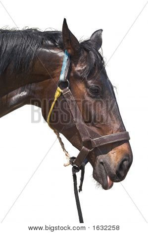 Wet Sweaty Head Of Exhausted Horse Isolated On White Background