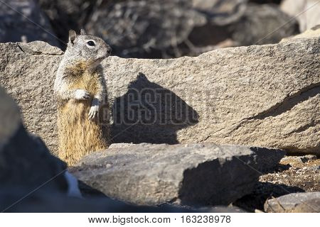 Cute California Ground Squirrel standing on two feet watching