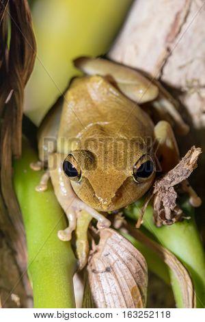 Beautiful Small Frog Boophis Rhodoscelis Madagascar