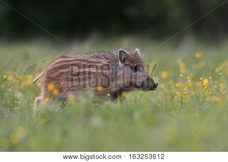 Wild boar piglet with blossoming flowers at summer