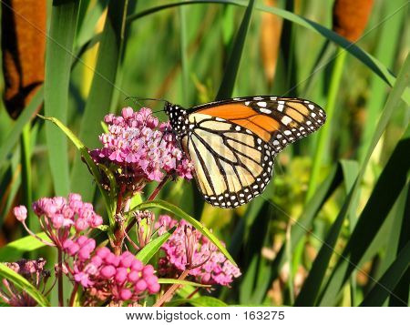 Monarch Butterfly - 3