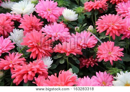 Beautiful array of large pink and white flowers in landscaped garden