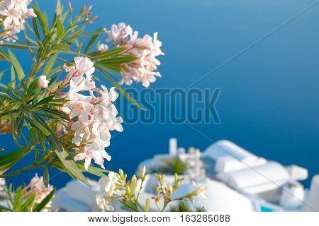 Beautiful flowers at Santorini island in Santorini island Oia Greece