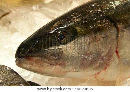 Yellow Tail Kingfish