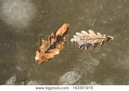 Two oak leaves in ice on a frozen river in sunny day
