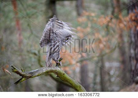Landing Great Grey Owl