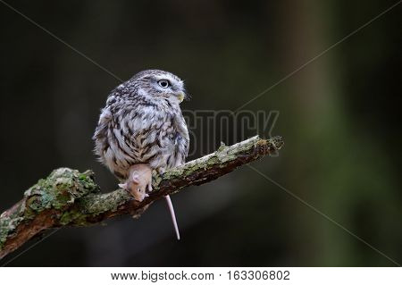 Little Owl With Mouse Prey