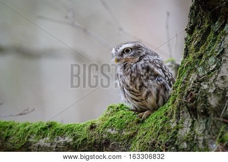 Little Owl With On Tree With Moss