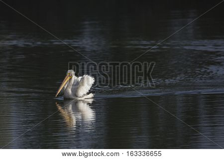 Pelican Swimming along on lake with reflection