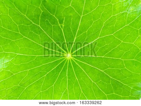 Close up detail green leaf of Green Asiatic Pennywort (Centella asiatica Hydrocotyle umbellata L or Water pennywort )