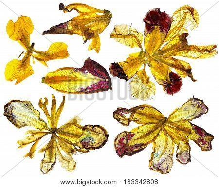 Dry Multicolored Yellow Iris Flowers