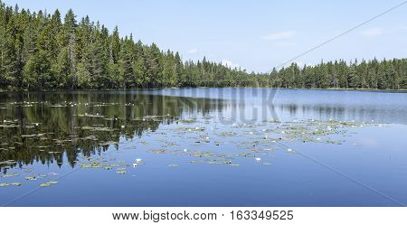 Minor lake in the forest, woodland. Waterlily, nenuphar in the lake. Trees, spruce and pine all around.