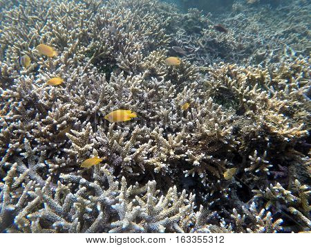 Underwater landscape with yellow fishes and sharp corals. White coral reef in tropical sea. Exotic sealife with underwater animals. Natural ecosystem. Aquarium fishes in wild nature. Snorkeling photo