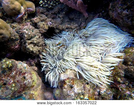 Clownfish in actinia plant inside a round coral. Orange and white striped clown fish. Tropical ecosystem symbiosis. Aquarium fish in wild nature. Sea life in warm climate. Diving in Philippines.