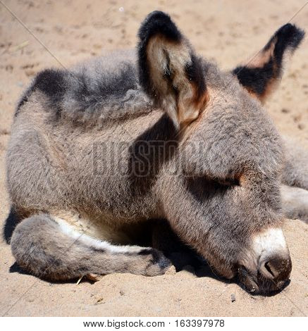 The donkey or ass is a domesticated member of the horse family, Equidae. The wild ancestor of the donkey is the African wild ass. The donkey has been used as a working animal for at least 5000 years.