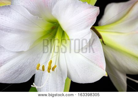 Close-up of white amaryllis flowers. Zen in the art of flowers. Macro photography of nature.