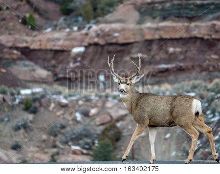 Whitetail Deer Making Eye Contact