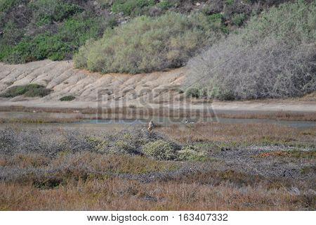 Northern Harrier or Hen Harrier. Seen in Bolsa Chica Ecological Reserve, Huntington Beach California