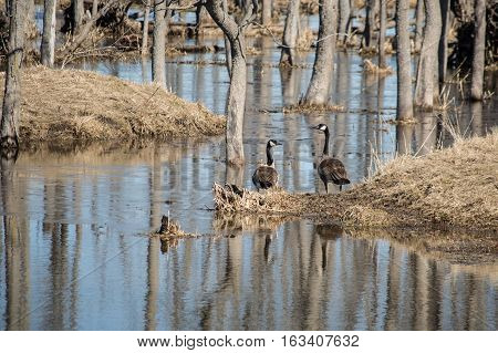 Pair of Canada geese standing on the shore of a frozen pond in early spring. Reflections of trees frame image