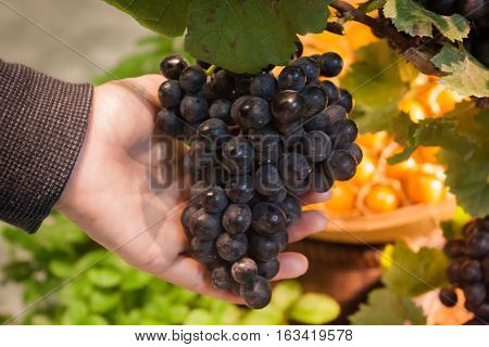 Hands holding a bunch of grapes, stock photo