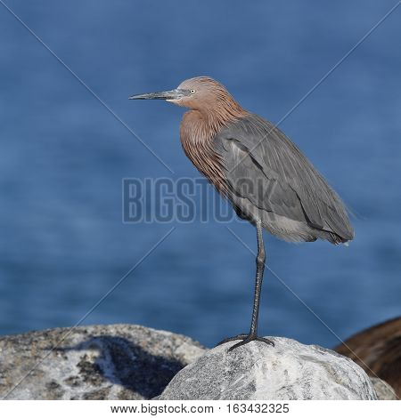 Reddish Egret (Egretta rufescens) perched on a rock next to the Gulf of Mexico - St. Petersburg Florida
