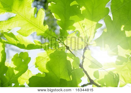 new leaf of oak tree