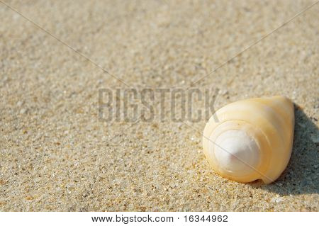 yellow cockleshell on sand closeup