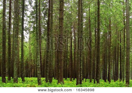 fairy tale fir tree forest